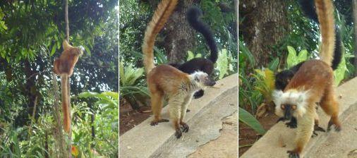 rencontrer les lémuriens du Domaine de Florette à Nosy Be