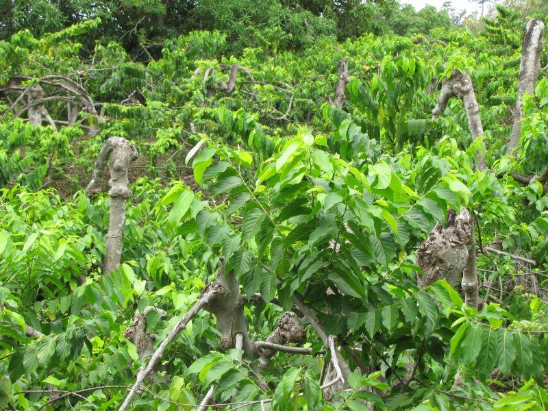 L'art de récolter les fleurs d'Ylang Ylang