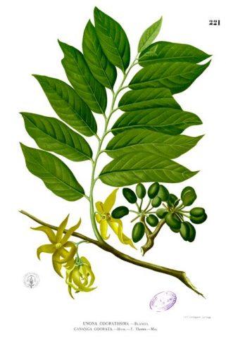 la distillation d'huile essentielle d'Ylang Ylang au Domaine de Florette